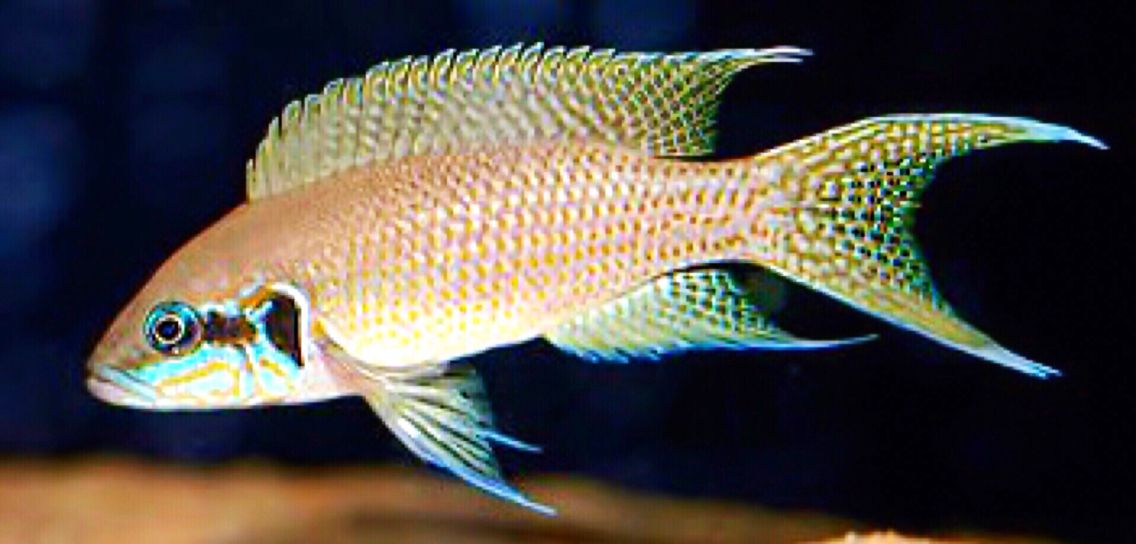 Fairy cichlid lake tanganyika african cichlid for Lake tanganyika fish