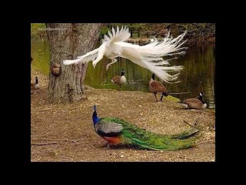 Peacock Dance & Screams High Quality HD Film, Pfau schlägt Rad & schreit, DOKU von Ute Neumerkel - YouTube
