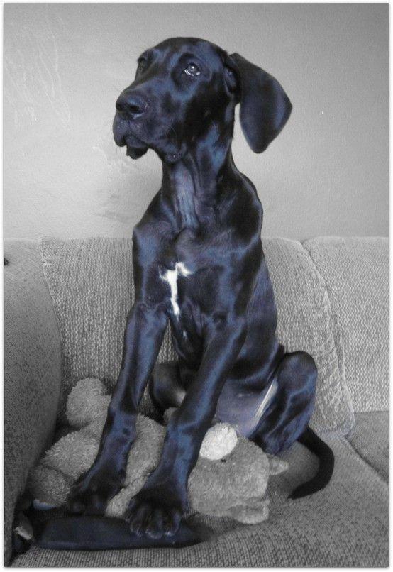 Pin By Tracy Az On Animals Great Dane Dogs Dane Puppies Dane Dog