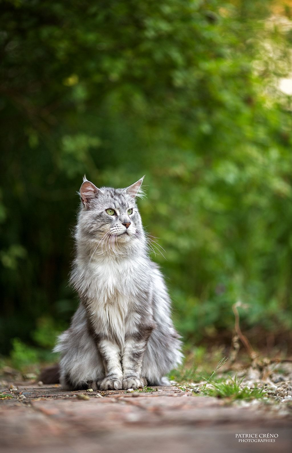 eye of tiger - maine coon black silver | MEOW | Cats, Maine coon