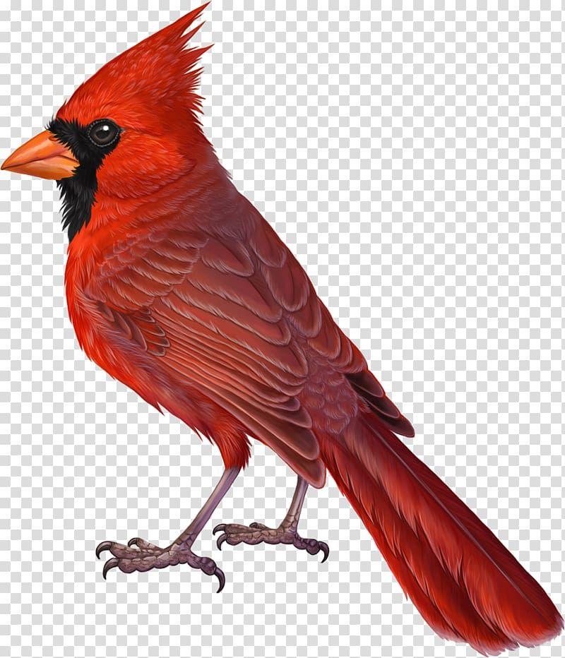 Red Bird Illustration Bird Northern Cardinal Drawing Summer Tanager Pink Bird Transparent Background Png Clipart Bird Illustration Red Birds Cardinal Drawing