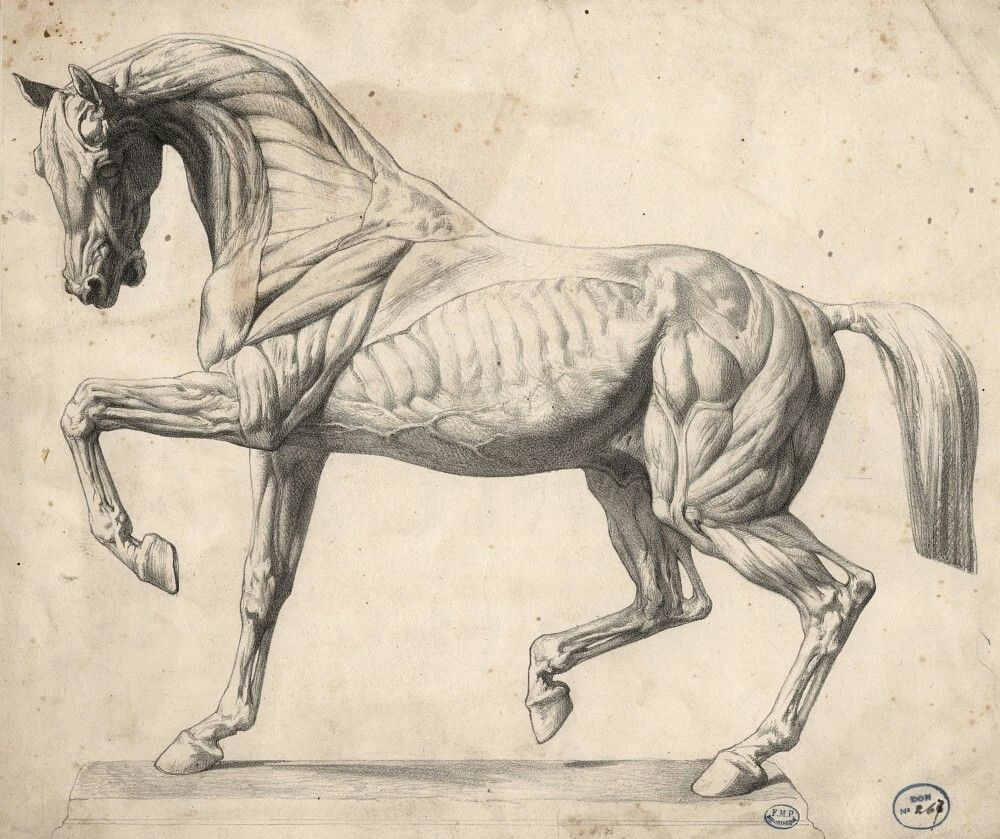 Pin by Anna Khudorenko on Horses | Pinterest | Anatomy, Horse and ...
