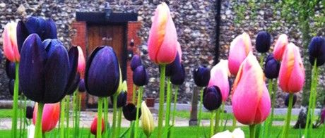 Tulips by Norwich cathedral
