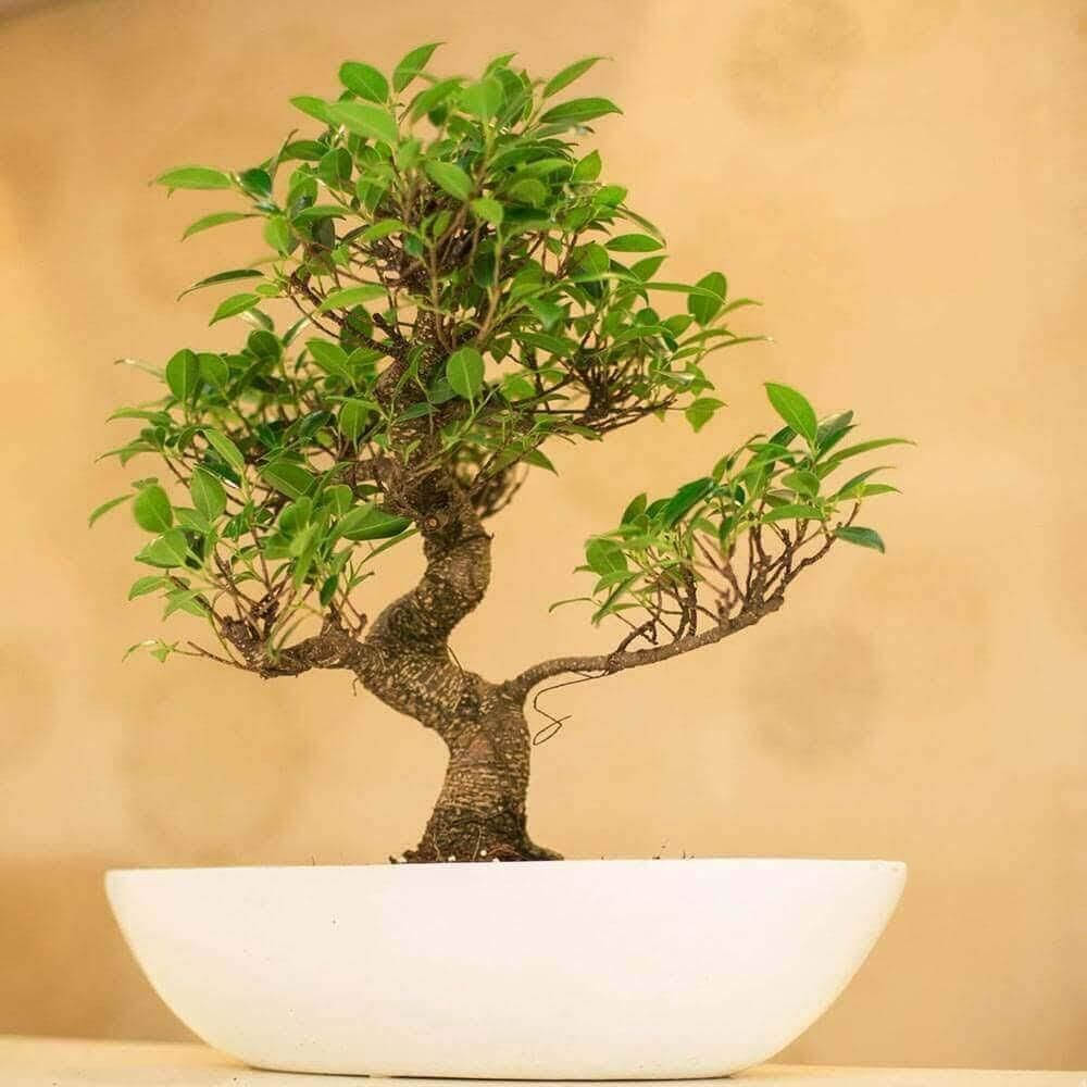 Looking for winter plants online – specially Ficus Bonsai