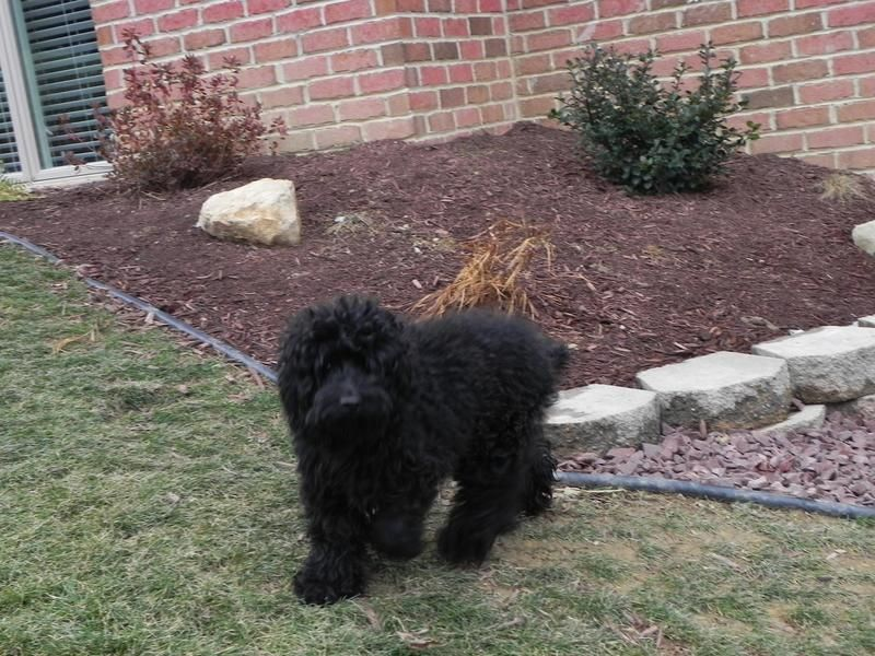 Layla is 3 - 4 years old, weighs 15 pounds and is a female Cockapoo.  She is very friendly and loves run and play.  Layla is scheduled to be spayed and up to date on shots.  She is adjusting well at her foster home and is working on house training. ...