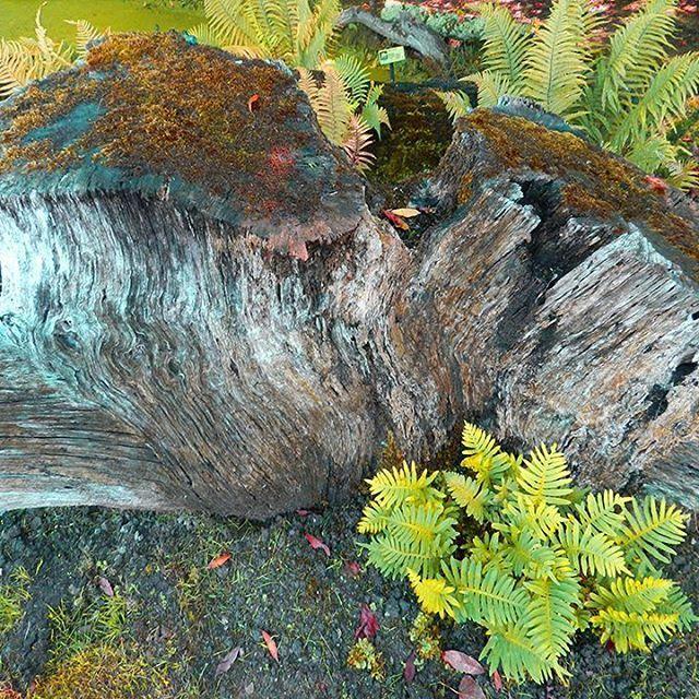 La vida se abre paso.  #Otoño #Autumn #Fall #Helecho #Fern #Jardín #Botánico #Atlántico #Atlantic #Botanic #Garden #Gijón #Xixón #Asturias #Asturies #AsturiasConSal #GijonAsturiasConSal #GijonNorthernSpainWithZest #GijonleNorddelEspagnequipetille #Turismo #Tourism