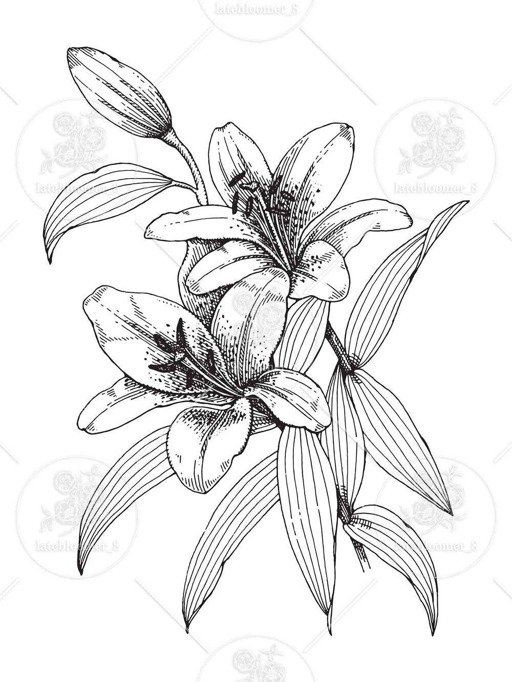 Tiger Lily Sketch   PeepsBurgh