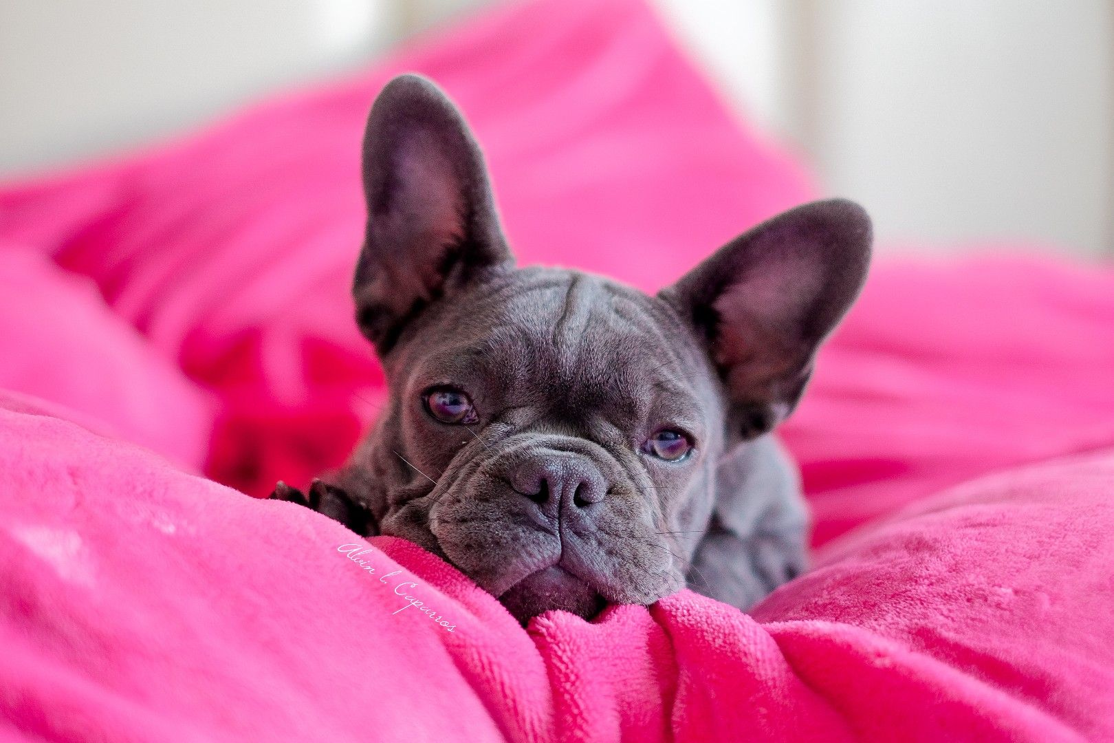 Leila The Frenchie From The Philippines You Can Follow Her At
