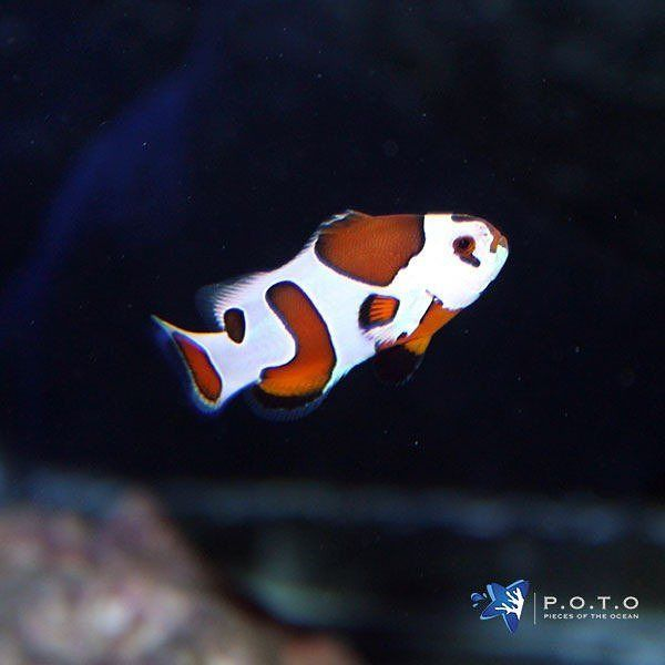 Mocha Storm Clownfish Is Coming To Tonight S Auction Have You Bought Your Shipping Module Yet Head On Over T Clown Fish Beautiful Sea Creatures Aquarium Fish