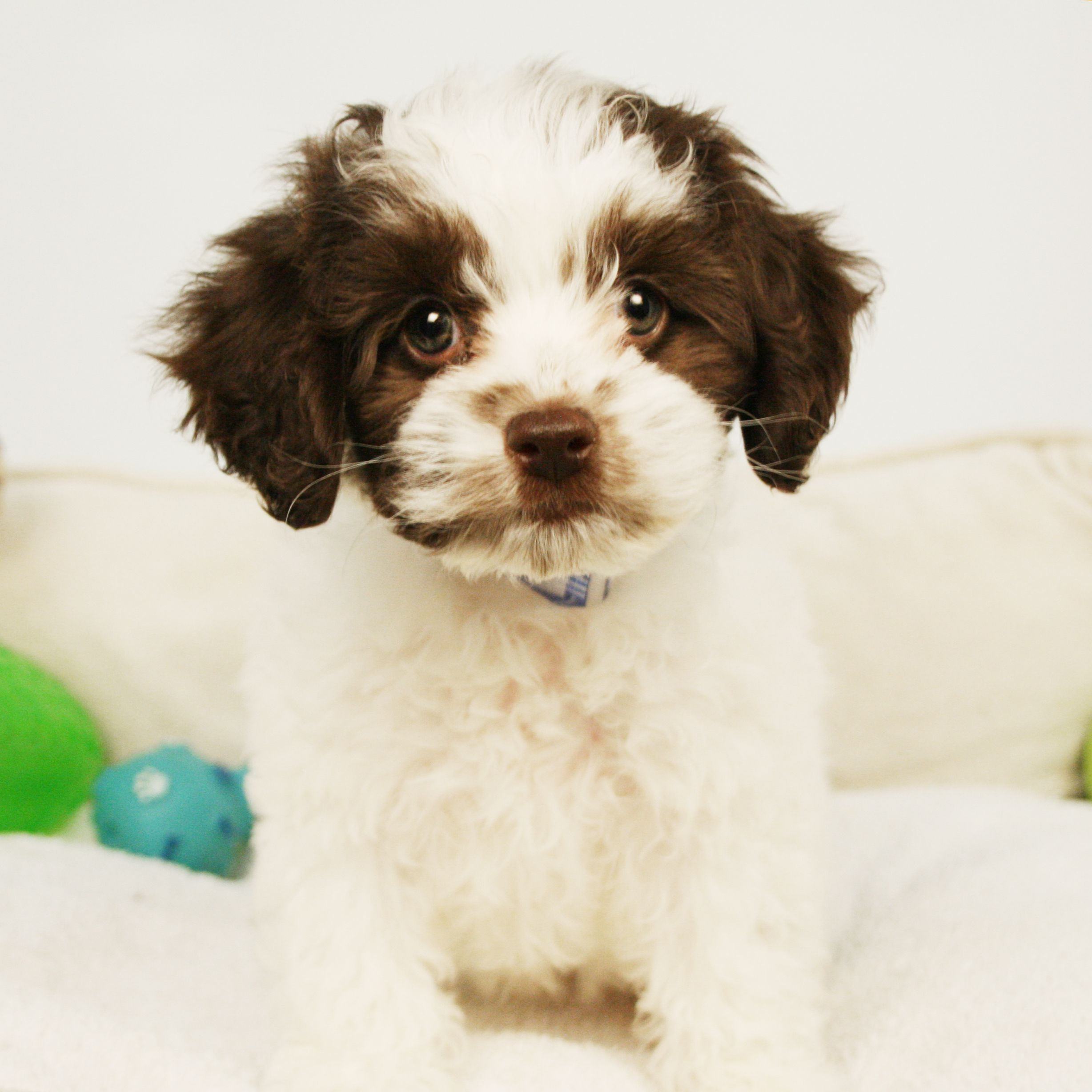 Cockapoo puppies are adorable hybrids of cocker spaniels
