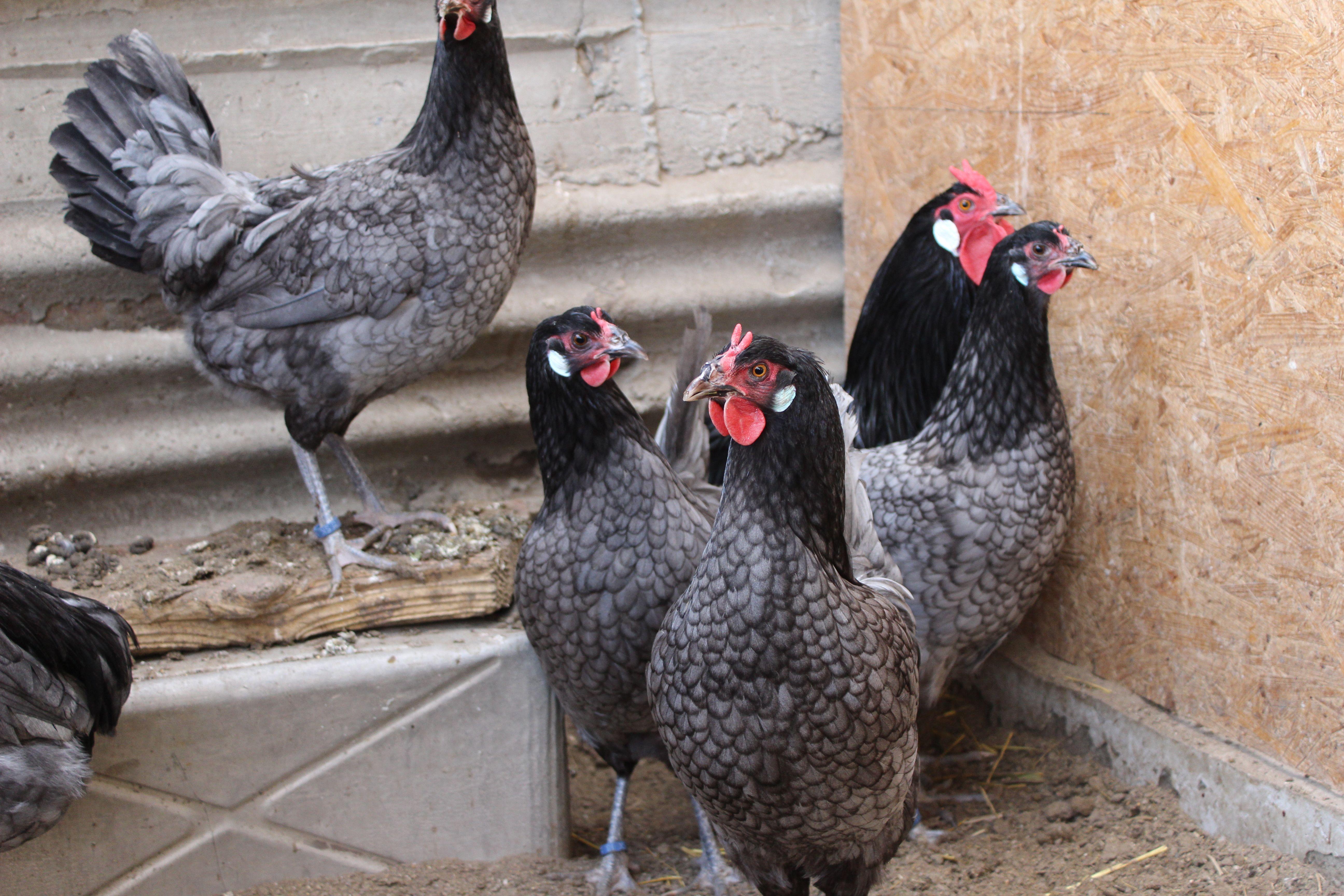 Blue La Fleche | Chicken breeds, Animals, Breeds