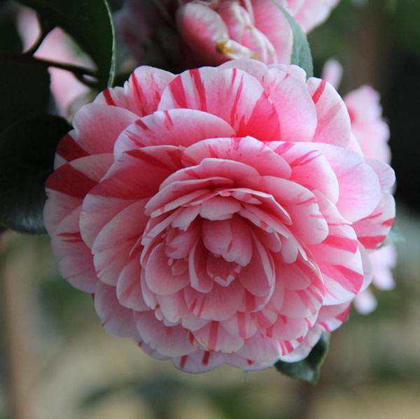 Camellia Japonica Seeds – 15 Seed Pack