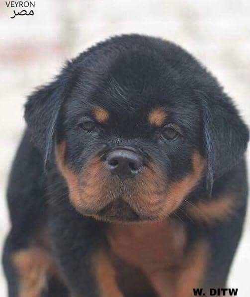 Veyron 50 Days From Egypt Puppies Rottweiler Dogs