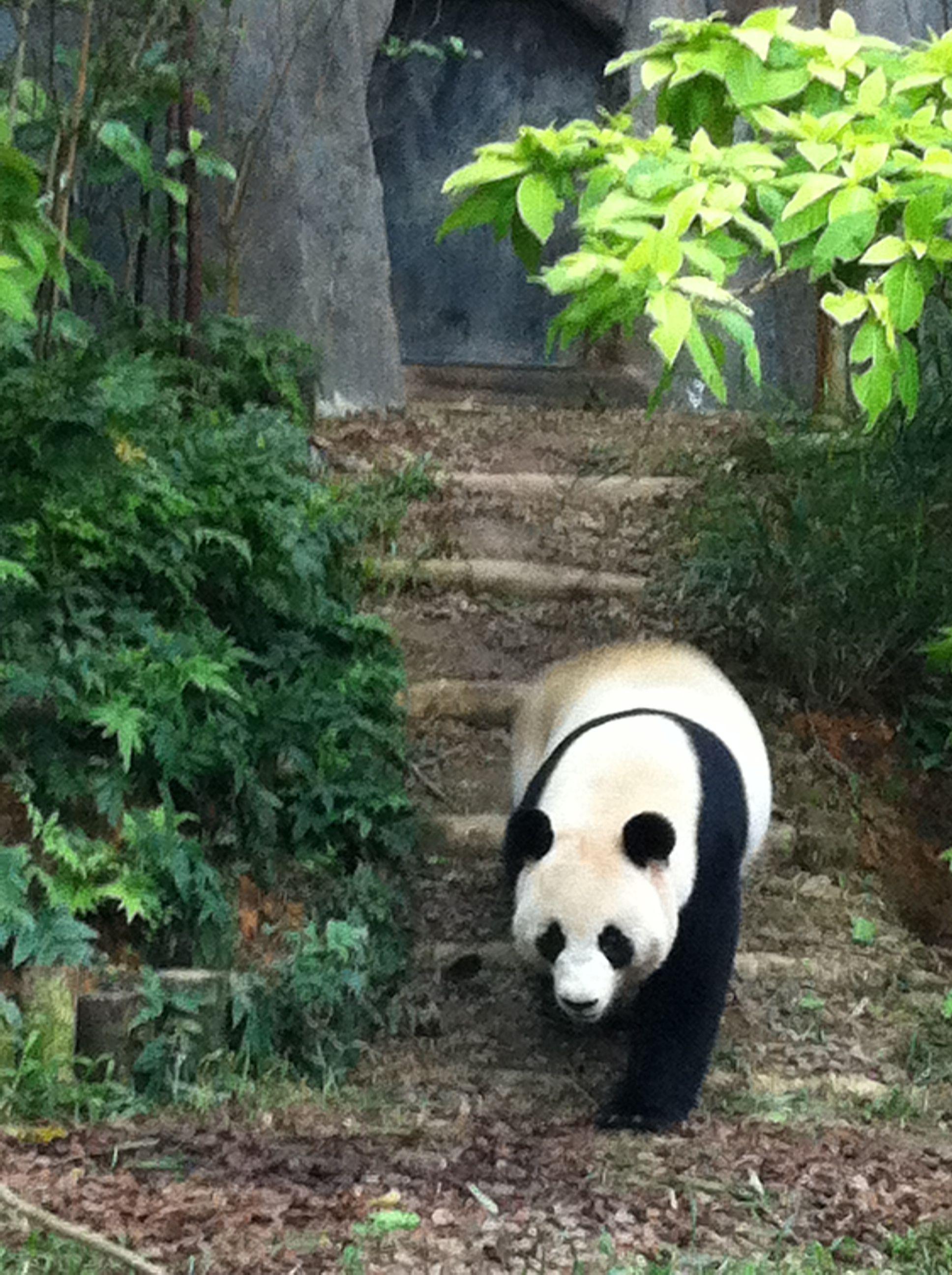 #panda #pandas Shy JiaJia