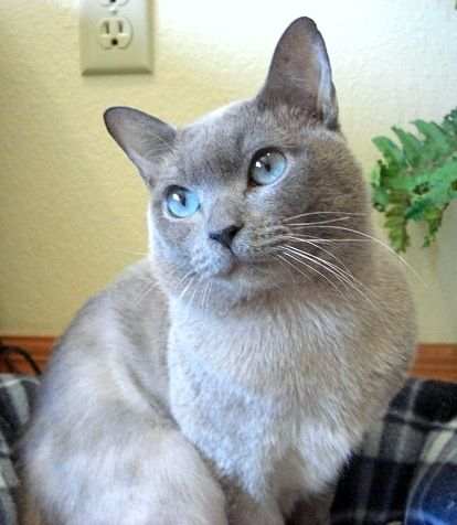 Brogan Blue Solid Tonkinese Tonkinese Cat Cats And Kittens Tonkinese