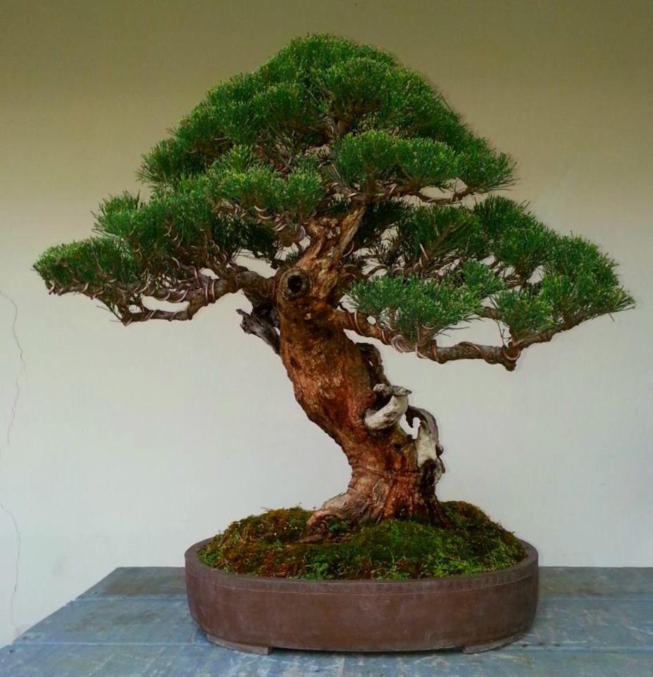 Casuarina equisetifolia Bonsai tree, Bonsai care, Bonsai