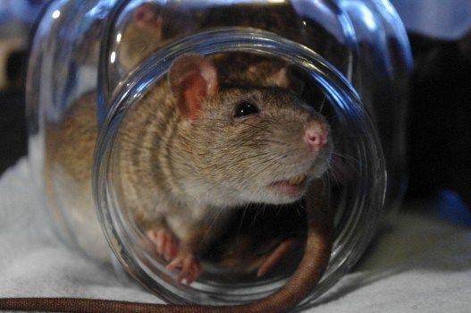 Se comprueba que las ratas sí pueden subir por el WC para entrar a las casas