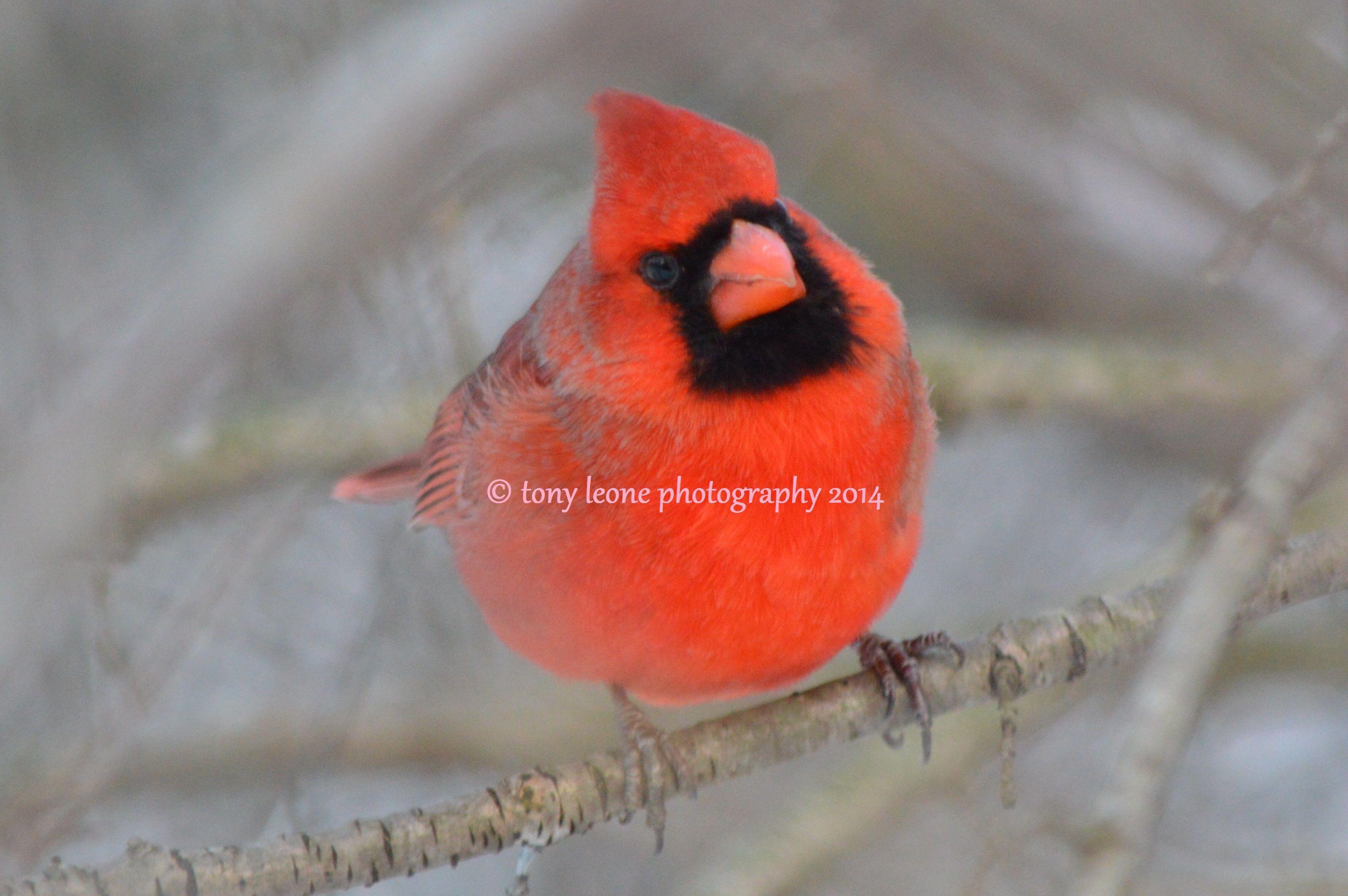 Beautiful Red Male Cardinal Print For Frame A 7 Cardinal Print Animals Digital Prints
