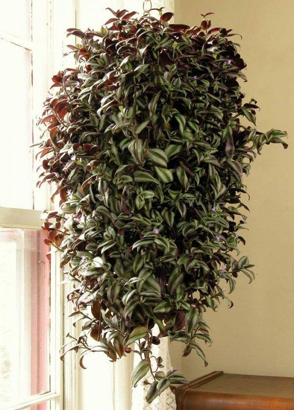 11 trepadoras de interior plantitas plantas colgantes - Plantas colgantes interior ...
