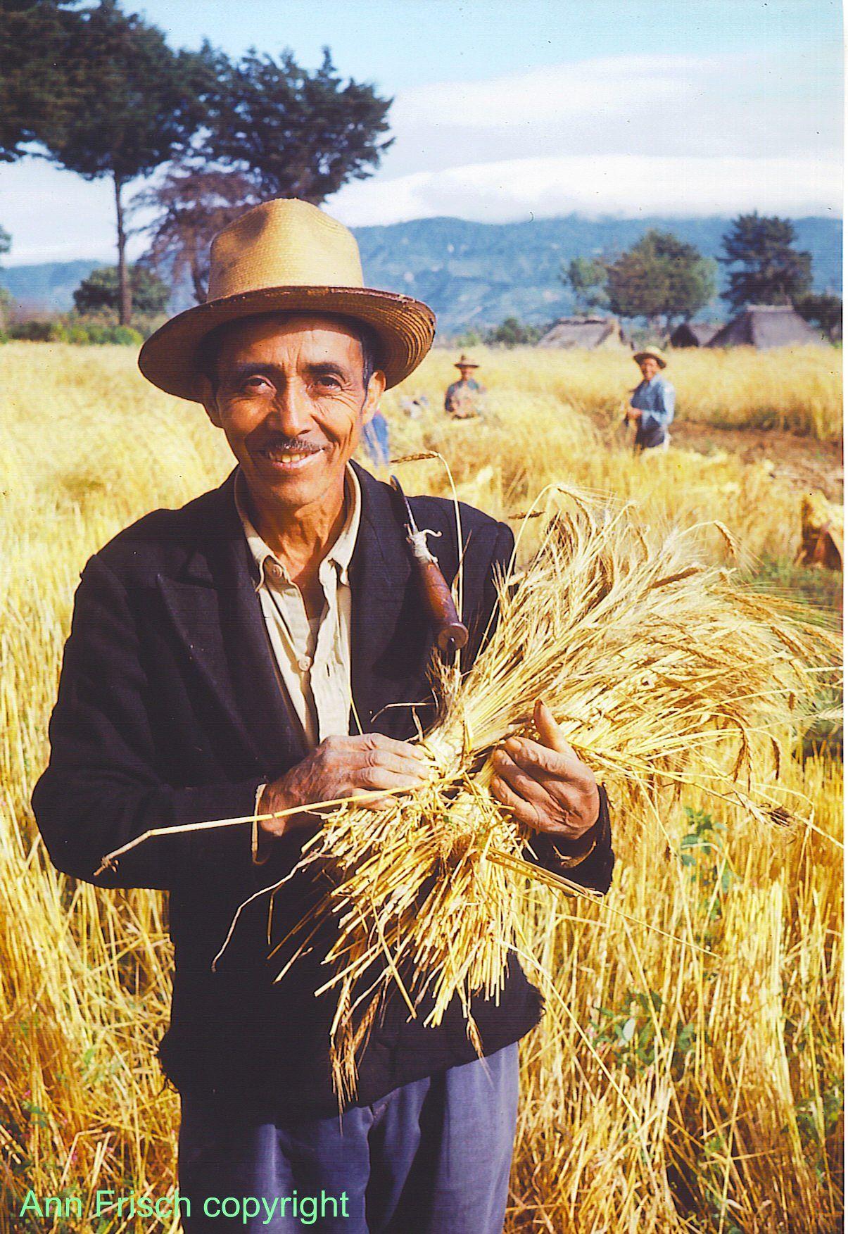 Hombre segando en su campo de trigo