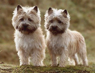 Cairn Terrier Originating In The Scottish Highlands And