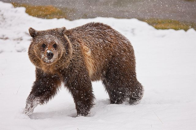 Grizzly Nevado - Yellowstone