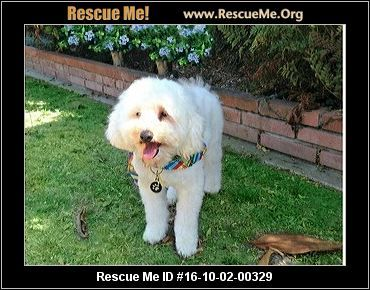 Click Here To View Cockapoo Dogs For Adoption Or Post One In Need Rescue Me Cockapoo Rescue Cockapoo Dog Cockapoo