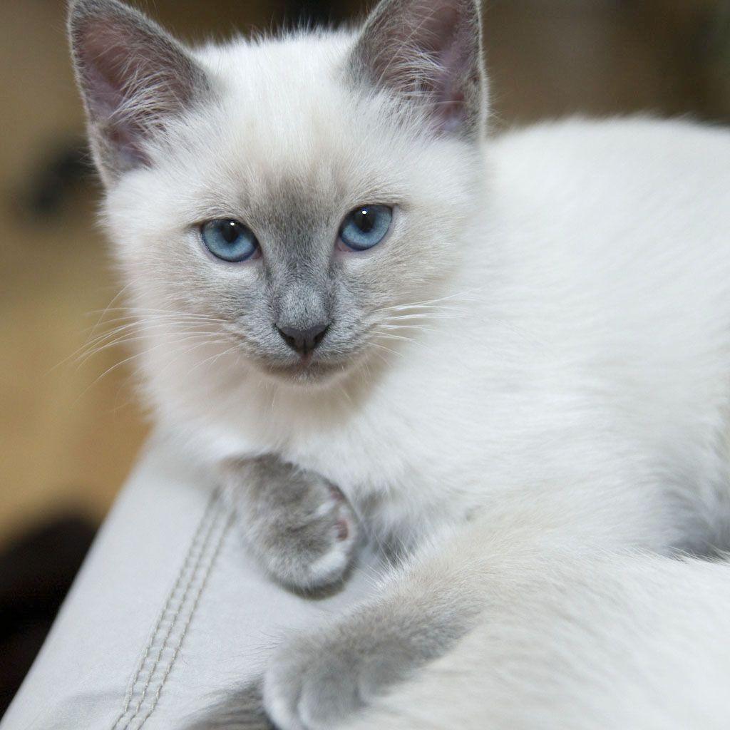 Shivas Kitten Heilige Birma Heilige Birma Katze Wilde Katzen