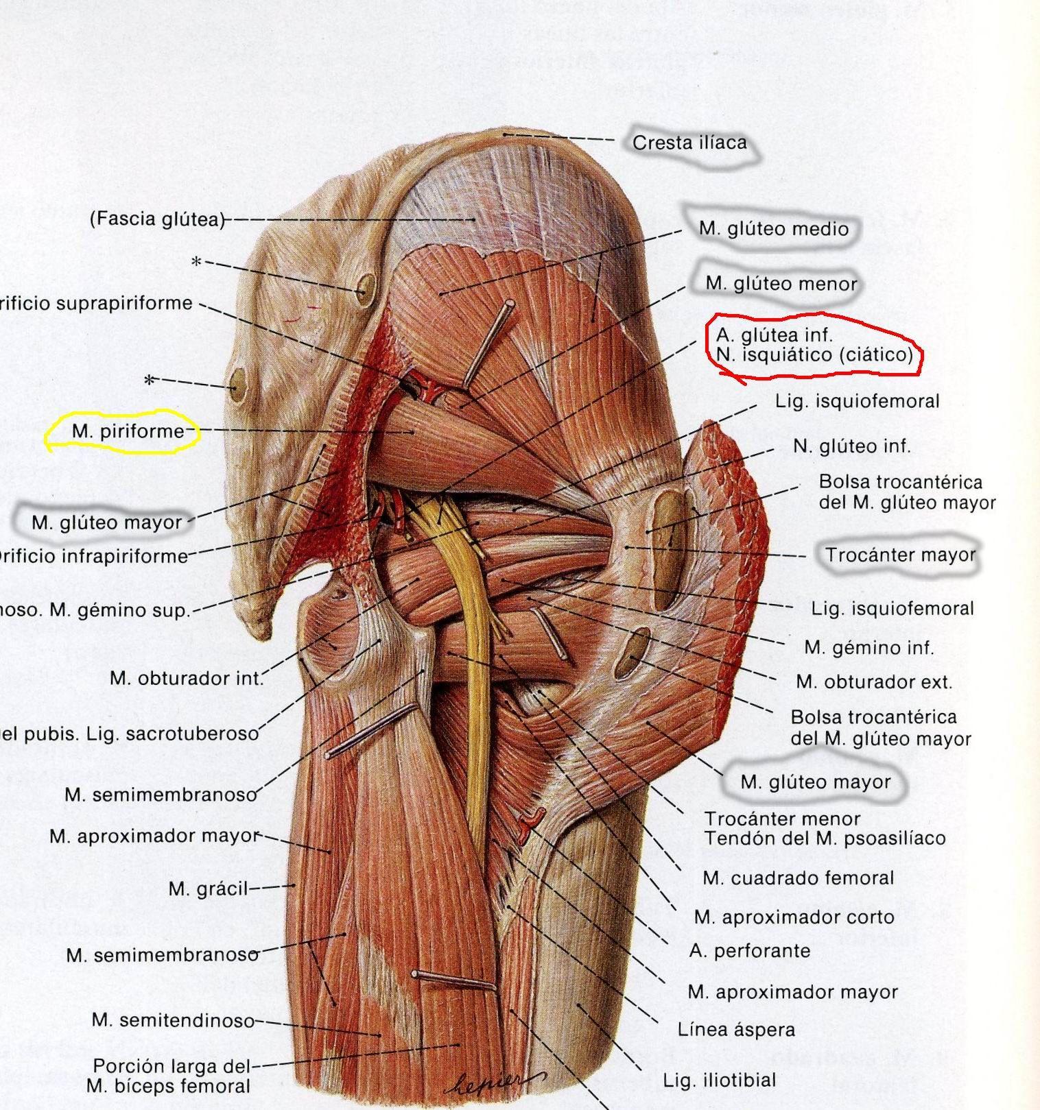 Lujo Músculos De La Cadera Y De La Pierna Colección - Anatomía de ...