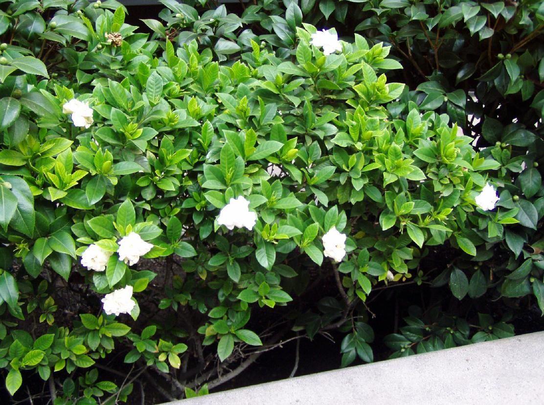 Gardenia Google Search Gardenia Plantas Gardenias
