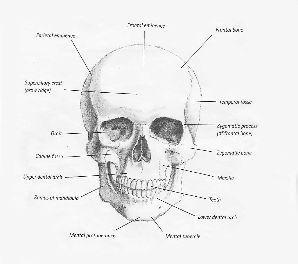 Bones And Muscles Of The Head Drawing
