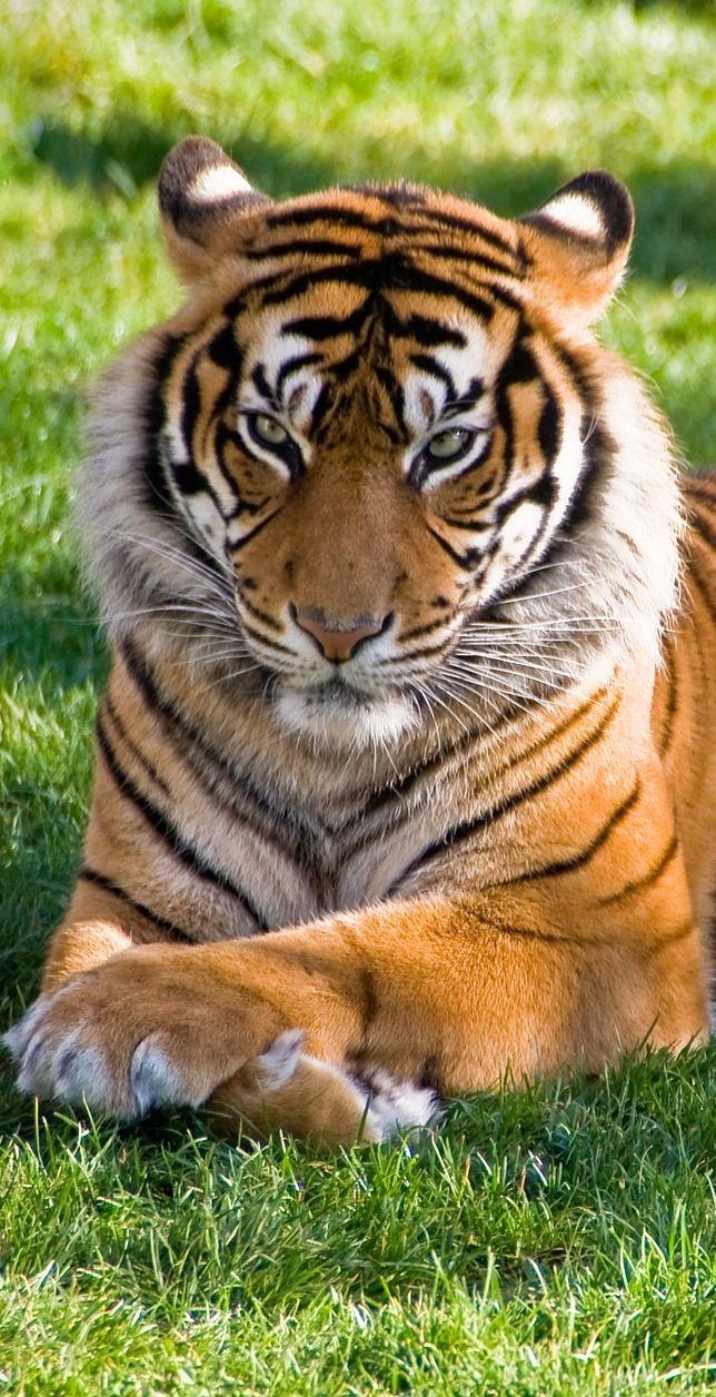 A tiger resting. #Animals #BigCats #Cats #Tiger