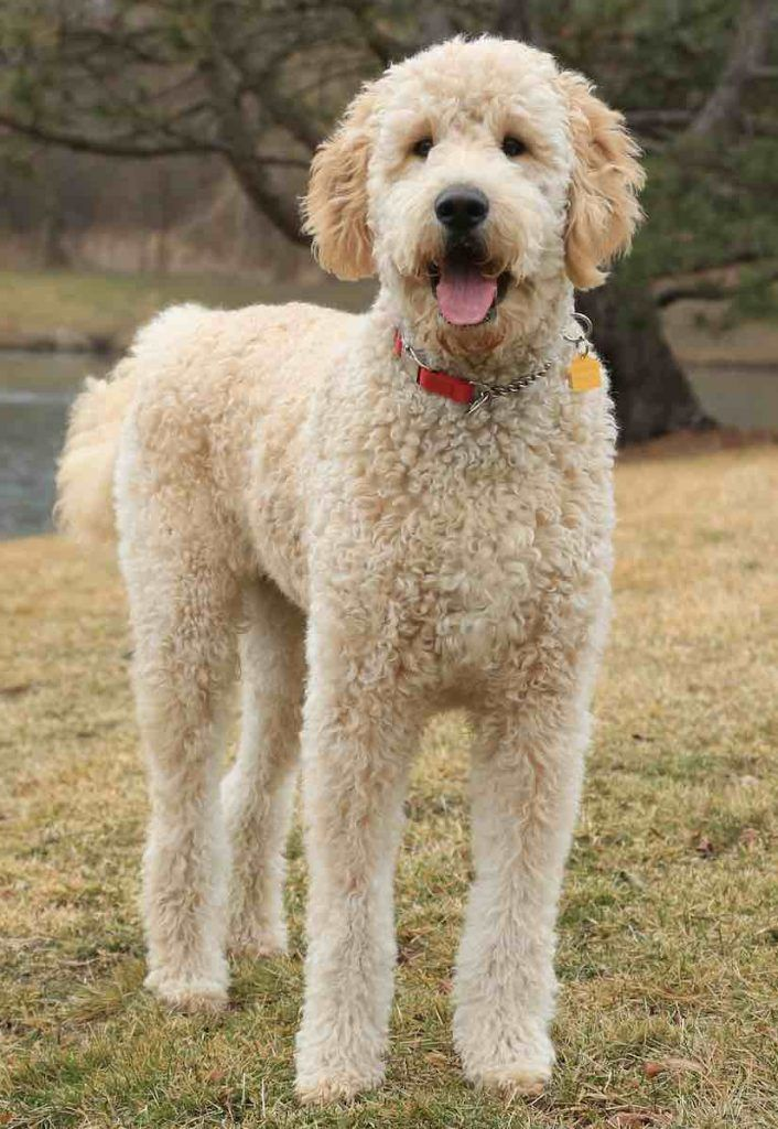 Goldendoodle In 2020 With Images Goldendoodle Goldendoodle