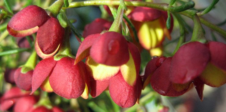 Boronia Flowers Floral Temple Bells