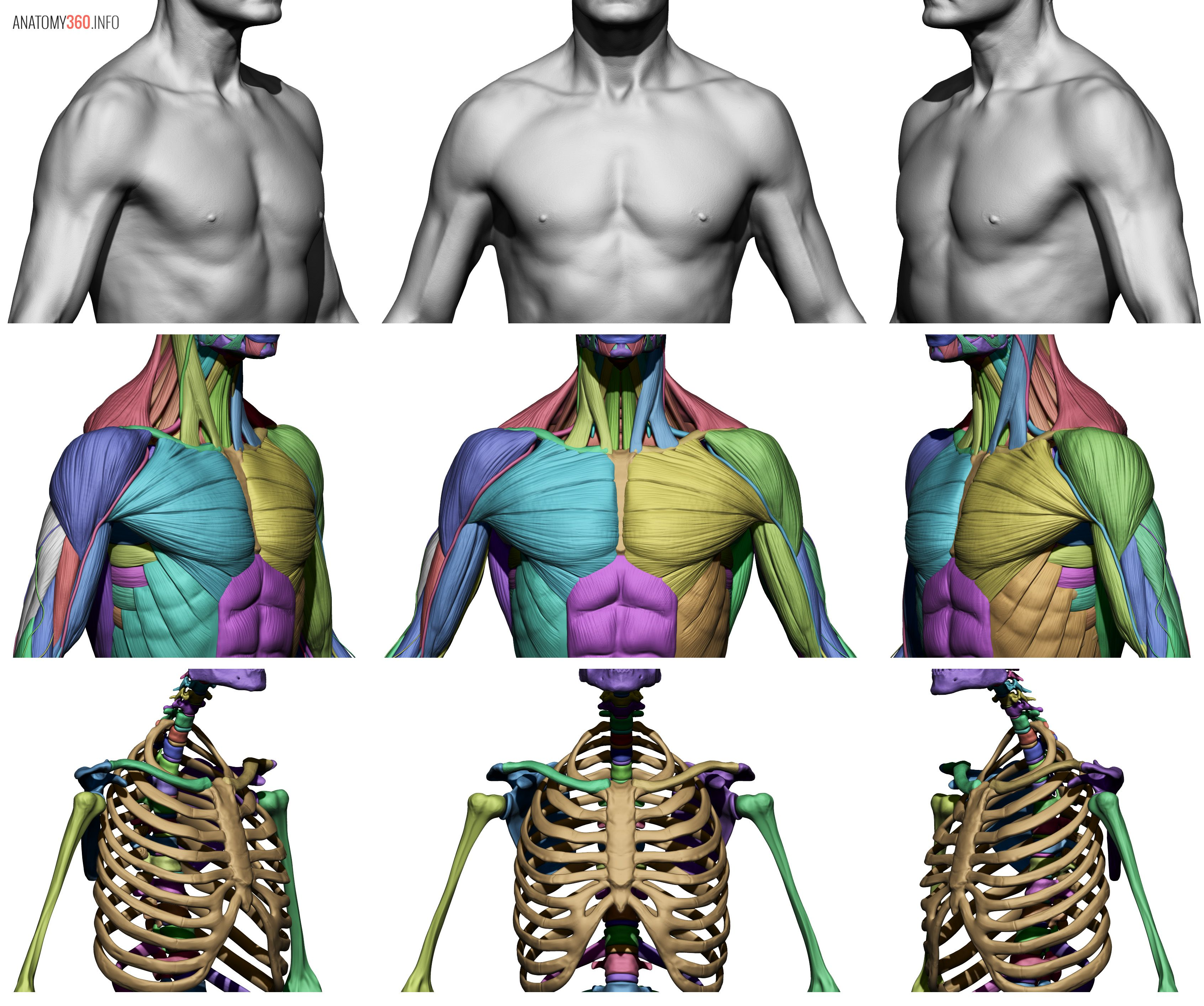 Front.jpg (3382×2825) | Anatomy | Pinterest | Anatomía, Modelado y 3d