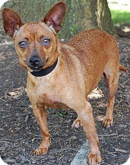 Lexington Ky Ky Chihuahua Mix Meet Hotcat A Dog For Adoption Chihuahua Chihuahua Mix Dog Adoption