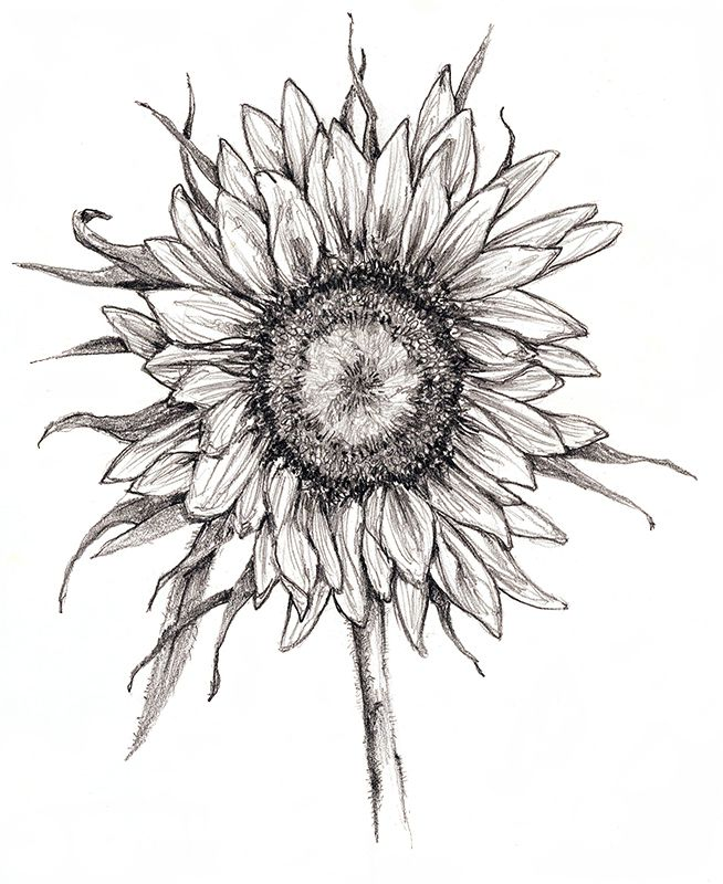 Pencil opening sunflower in 2020 | Pen drawing, Drawings ...