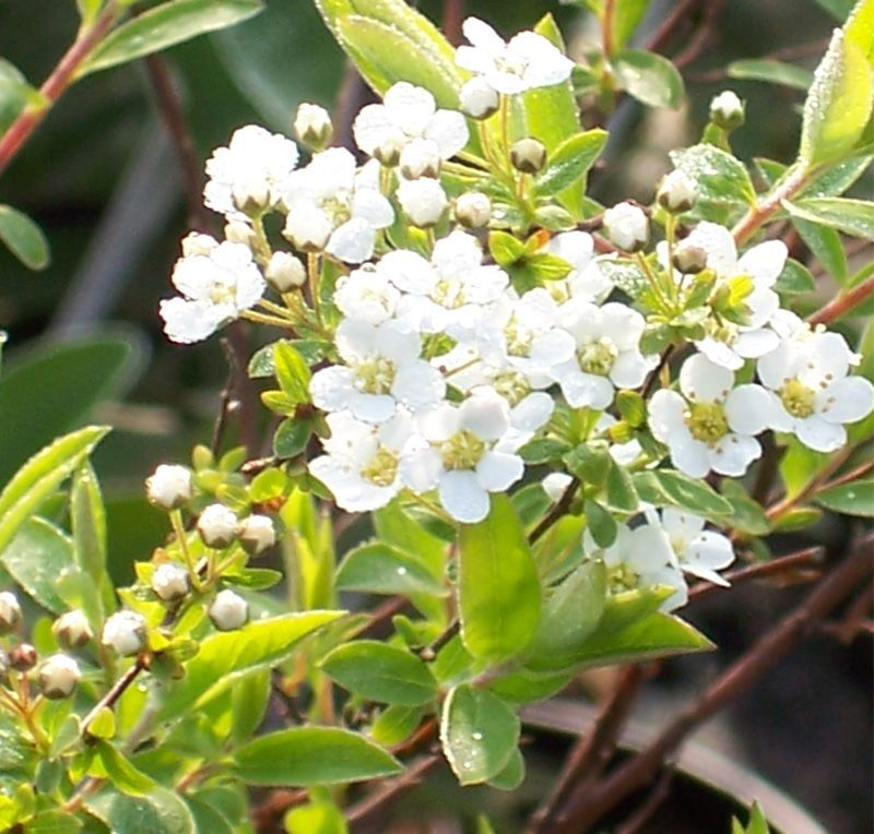 Spiraea Arguta Bridal Online From Jacksons Nurseries