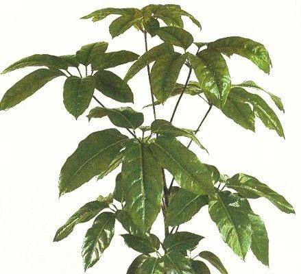 Schefflera, cuidados y cultivo