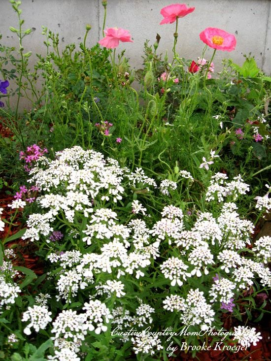 Annual Candytuft and Poppies  http://creativecountrymom.blogspot.com/