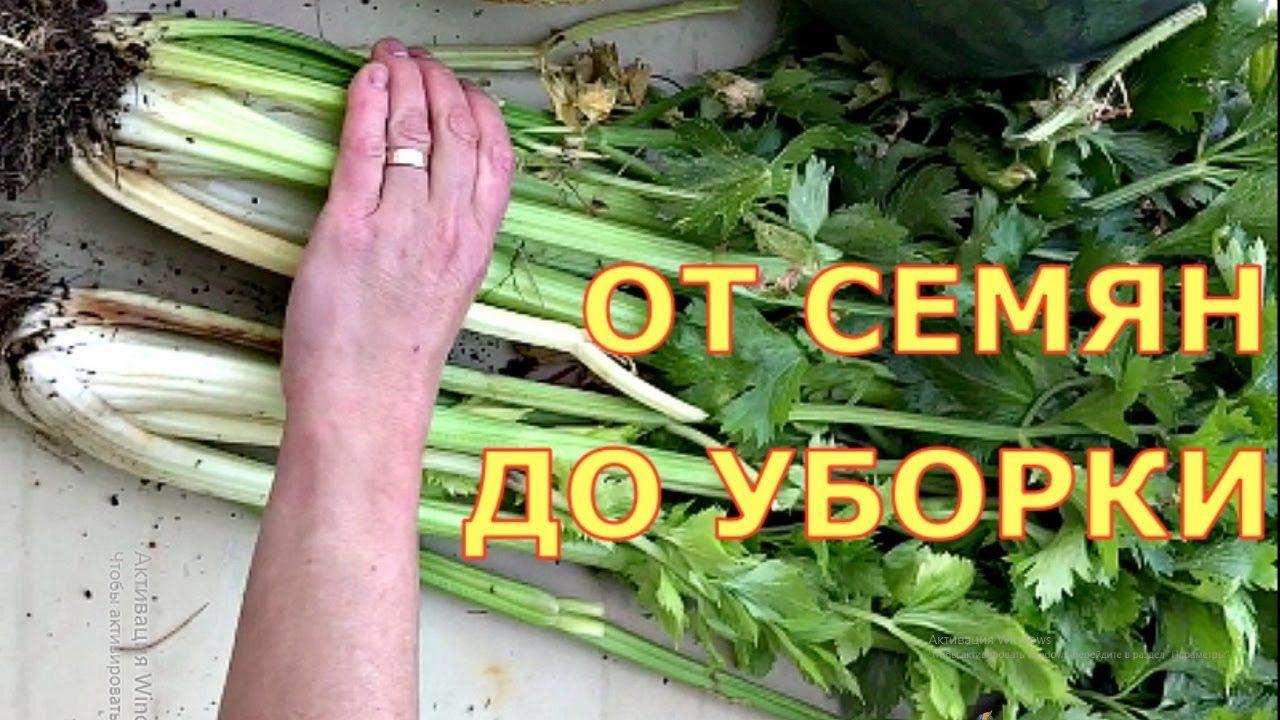 сельдерей как сеять семена