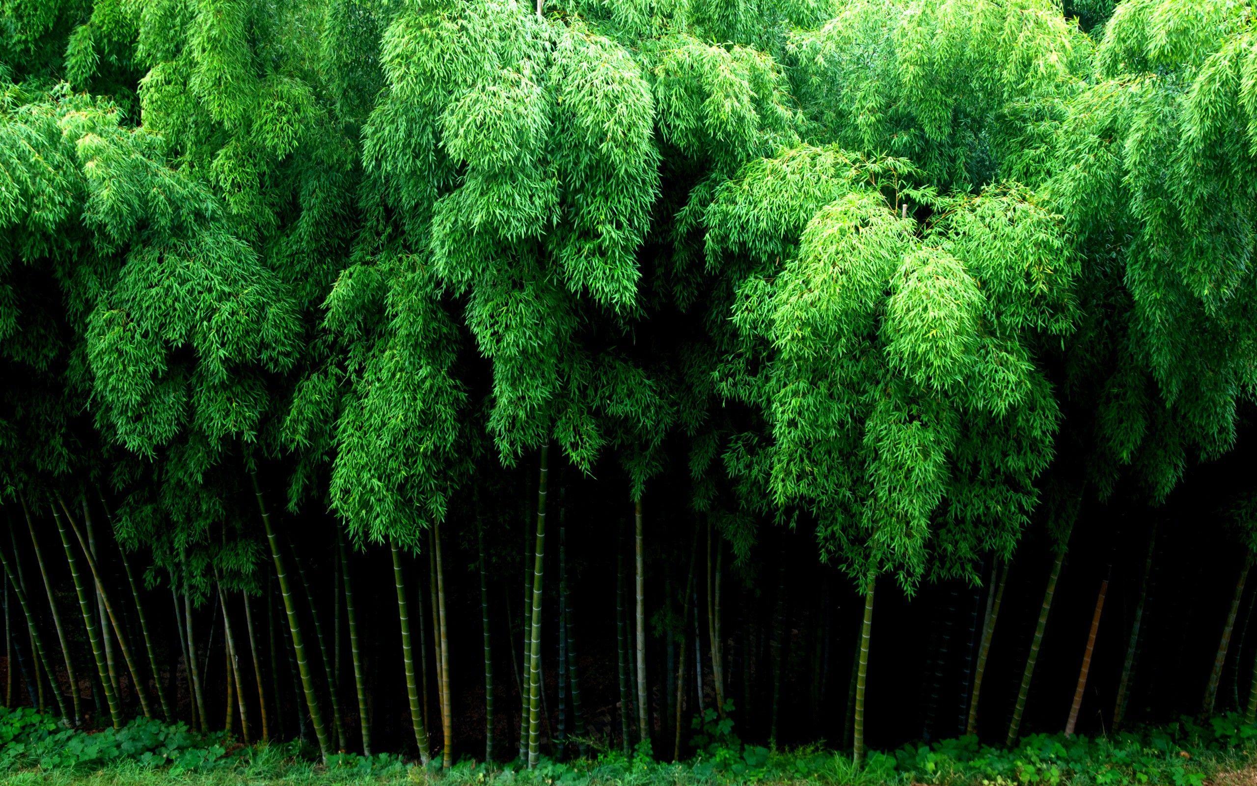 Bamboo Wallpaper Image Group