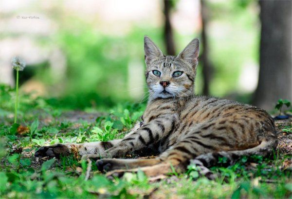 Domestic Cats Are F1 Savannah Is Literally The Most Amazing Rare
