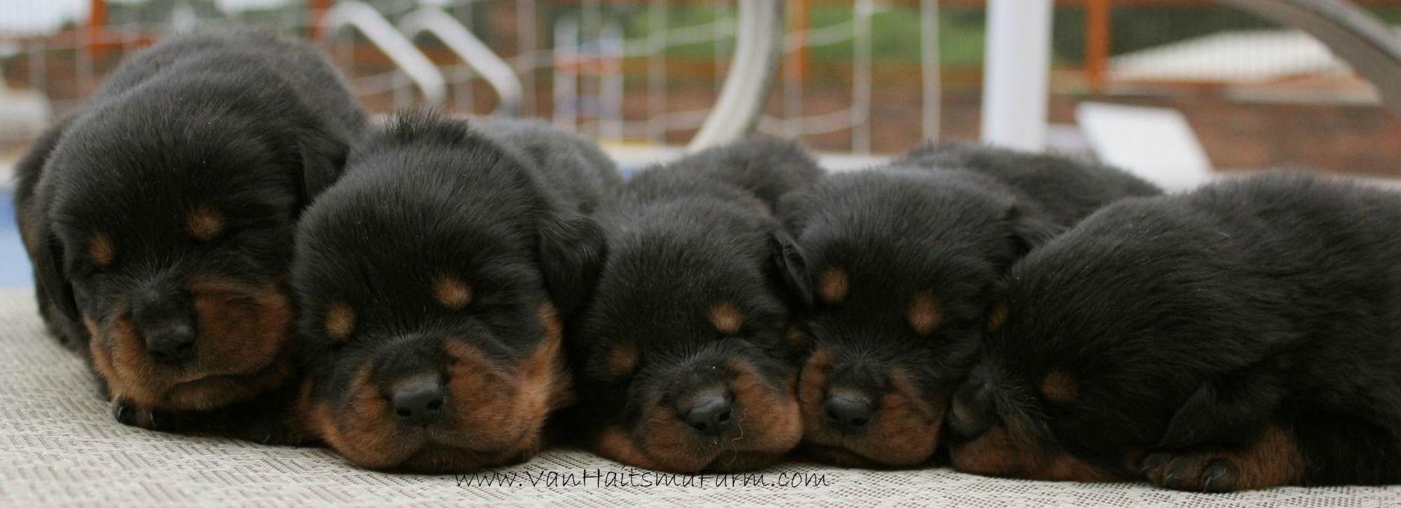A Row Of Rottweiler Puppies Animals Friends