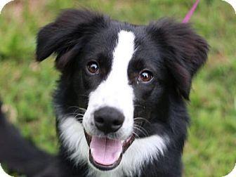 East Brunswick Nj Border Collie Meet Grayce Leigh Adoption Pending A Dog For Adoption Http Www Adoptapet Com Pets Border Collie Pictures Dog Adoption