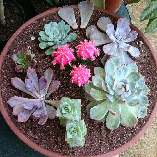 Succulents. Echeveria, Aeonium, Crassula rupestris e Innesti.