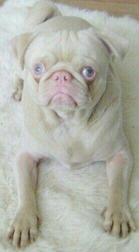 Carlino Cute Animals Pugs