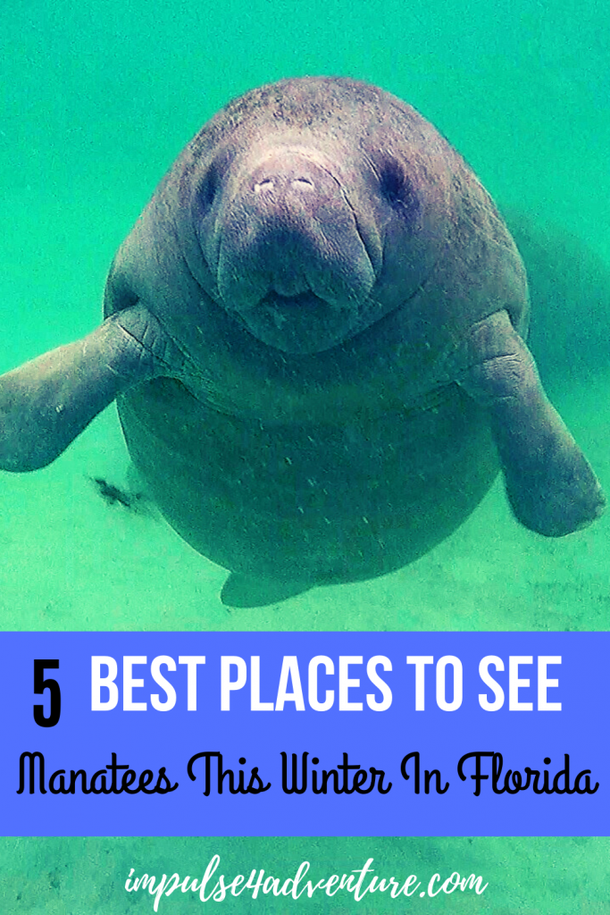 5 Best Places To See Manatees In Florida This Winter Florida Manatee Manatee Florida