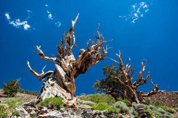 """A mais antiga árvore conhecida do mundo está nas Montanhas Brancas da Califórnia oriental –  um pinheiro bristlecone que tem mais de 5.000 anos de idade.  A árvore, que ainda não tem nome, foi datada no começo de 2013 e bateu um recorde de sua vizinha – um pinheiro da mesma espécie chamado """"Matusalém"""", que possui cerca de 4.800 anos de idade."""