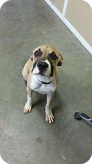 Camden, DE Great Dane Mix. Meet Major, a dog for